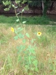 Sunflowers in Terry Hershey Park